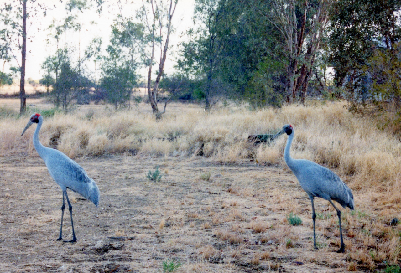 A Brolga is a large crane-like bird. These ones were used to being around humans. They appeared as soon as we put the tent up.